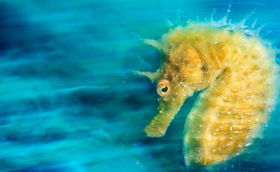 Arany csikóhal